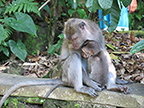Indonesia Macaque